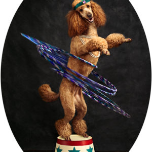 Groomed Poodle on stage hula hooping